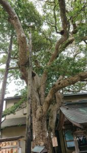 御神木 タブノキ / Sacred tree, Machilus thunbergii