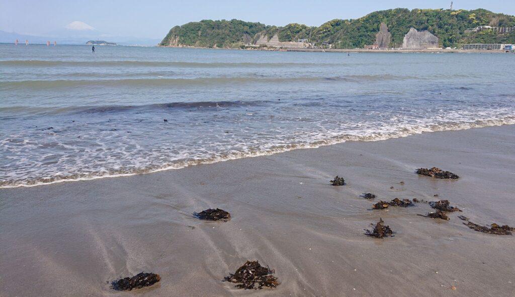 逗子海岸 ワカメ / Sea weed (wakame) in Zushi Beach (2021 April 30th)